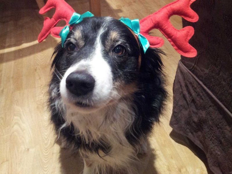 Mabel the dog stressed wearing Xmas antlers